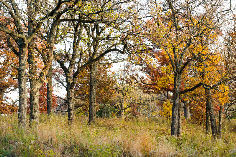 ML 005<br /> <br /> Autumn in the oak savanna.  Mayslake Forest Preserve, DuPage County, Illinois.