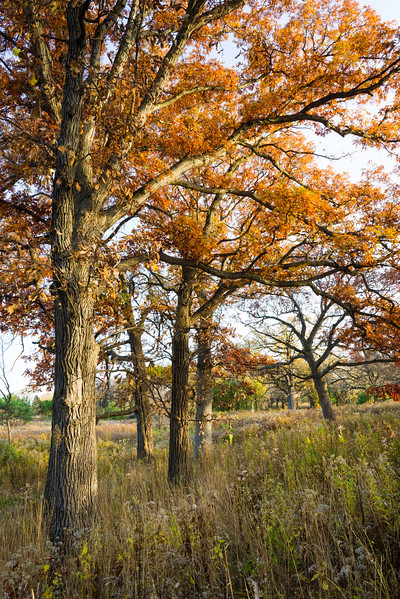 ML 003<br /> <br /> Autumn in the oak savanna.  Mayslake Forest Preserve, DuPage County, Illinois.