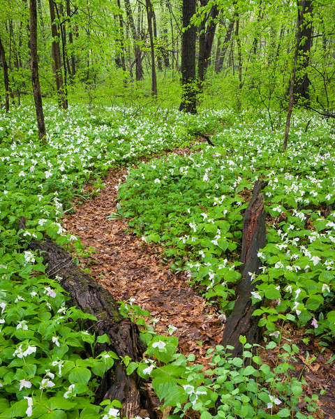 McmGrv 006<br /> <br /> White trillium carpet the forest floor in spring at Meacham Grove Nature Preserve, DuPage County, Illinois.