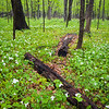 McmGrv 003<br /> <br /> White trillium cover the forest floor in spring.  Meacham Grove Nature Preserve, DuPage County, Illinois.
