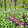 McmGrv 005<br /> <br /> White trillium carpet the forest floor in spring at Meacham Grove Nature Preserve, DuPage County, Illinois.