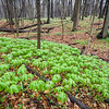McmGrv 004<br /> <br /> A miniature forest of mayapples at Meacham Grove Nature Preserve, DuPage County, Illinois.