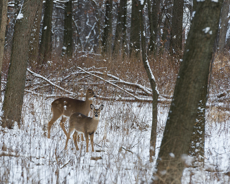 OFO 001<br /> <br /> A doe and curious yearling forage in the winter woods.  Oldfield Oaks Forest Preserve, DuPage County, Illinois.