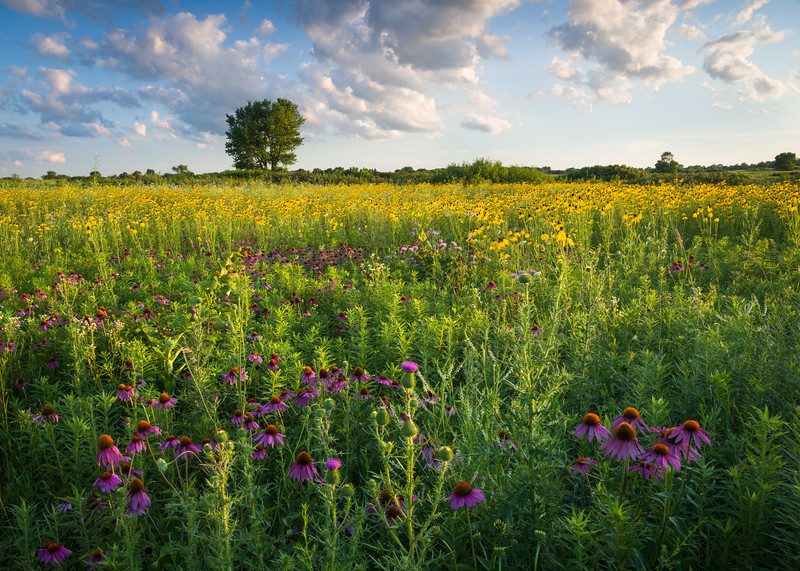 SBP 223<br /> <br /> Lazy clouds drift over the summer prairie filled with native wildflowers.  Springbrook Prairie Nature Preserve, DuPage County, Illinois.
