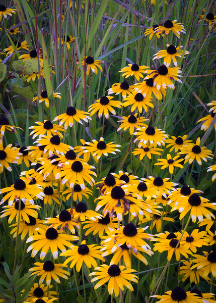 SBP 190<br /> <br /> A cluster of black-eyed susan wildflowers at Springbrook Prairie Nature Preserve, DuPage County, Illinois.