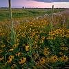 SBP 054<br /> <br /> Black-eye susan bloom en masse at Springbrook Prairie Nature Preserve, DuPage County, Illinois.