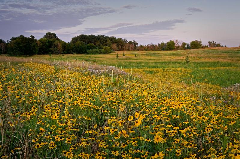 SBP 053<br /> <br /> Black-eyed susan bloom en masse at Springbrook Prairie Nature Preserve, DuPage County, Illinois.