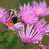SBP 059<br /> <br /> A bumblebee visits the blooms of wild asters at Springbrook Prairie Nature Preserve, DuPage County, Illinois.