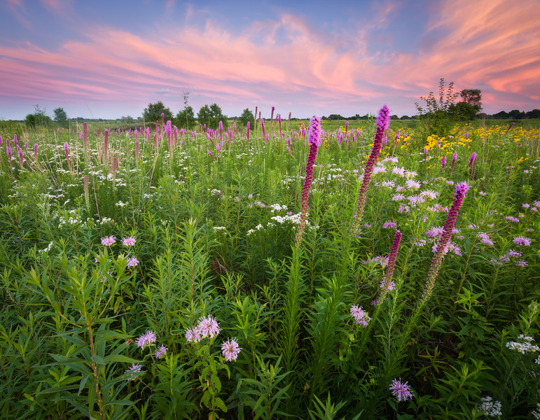 SBP 222<br /> <br /> A sunset sky over a prairie of native wildflowers in full bloom at Springbrook Prairie Nature Preserve, DuPage County, Illinois.