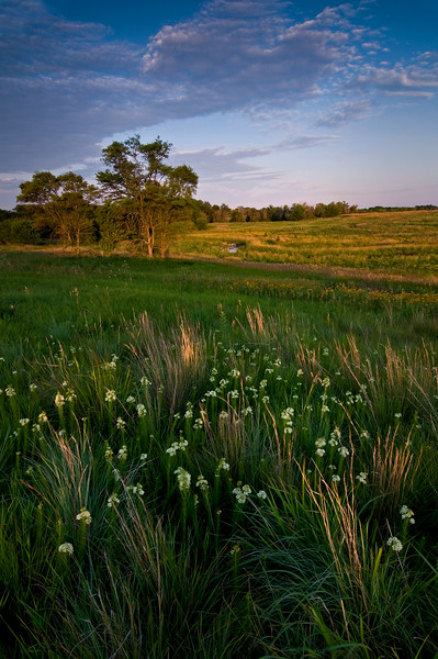 SBP 036<br /> <br /> Sunset light on prairie grasses.  Springbrook Prairie Nature Preserve, DuPage County, Illinois.