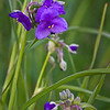 SBP 045<br /> <br /> Spiderwort blooming in the summer prairie at Springbrook Prairie Nature Preserve, DuPage County, Illinois.