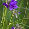 SBP 045<br /> <br /> Spiderwort blooming in the summer prairie at Springbrook Prairie Nature Preserve, DuPage County, Illinois.