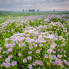 SBP 178<br /> <br /> Wave clouds over a prairie of bergamot native wildflowers.  Springbrook Prairie Nature Preserve, DuPage County, Illinois.