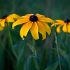 SBP 056<br /> <br /> Dew drops hang from the petals of black-eyed susan.  Springbrook Prairie Nature Preserve, DuPage County, Illinois.
