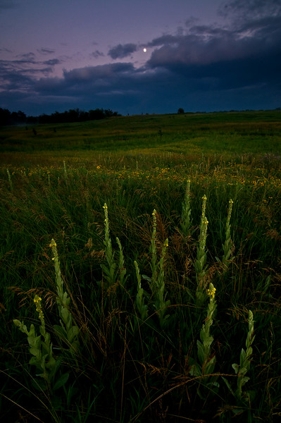 SBP 057<br /> <br /> Mullein wildflowers at dusk.  Springbrook Prairie Nature Preserve, DuPage County, Illinois.