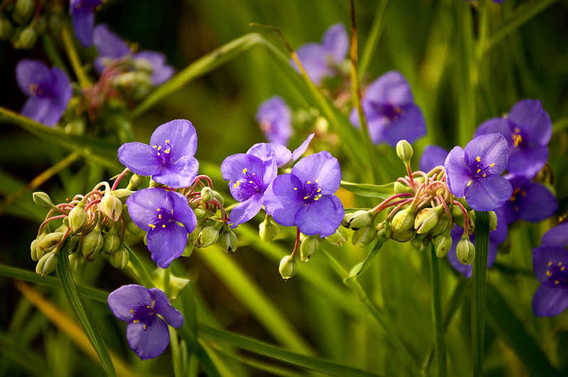 SBP 067<br /> <br /> Spiderwort blooming in early summer.  Springbrook Prairie Nature Preserve, DuPage County, Illinois.