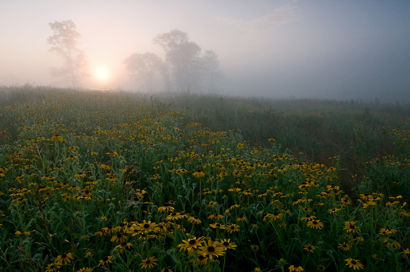 SBP 031<br /> <br /> sunrise obscured by heavy fog over a prairie of black-eyed susan native wildflowers.  Springbrook Prairie Nature Preserve, DuPage County, Illinois.