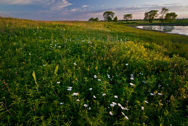 SBP 033<br /> <br /> Early summer wild daisies in sunset light.  Springbrook Prairie Nature Preserve, DuPage County, Illinois.