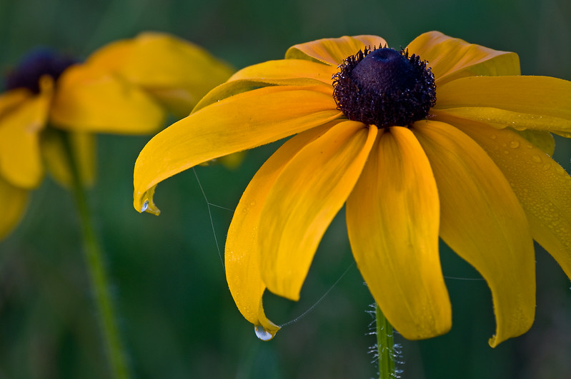 SBP 055<br /> <br /> Dew drops hang from the petals of black-eyed susan.  Springbrook Prairie Nature Preserve, DuPage County, Illinois.