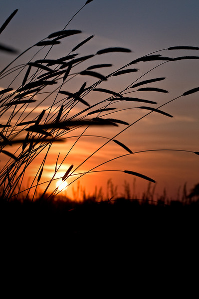 SBP 027<br /> <br /> Prairie grasses at sunset.  Springbrook Prairie Nature Preserve, DuPage County, Illinois.