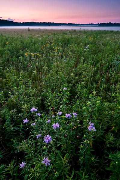 SBP 156<br /> <br /> Native bergamot at sunrise.  Springbrook Prairie Nature Preserve, DuPage County, Illinois.