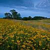 SBP 062<br /> <br /> Black-eyed susan blooming en masse at Springbrook Prairie Nature Preserve, DuPage County, Illinois.