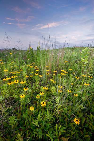 SBP 114<br /> <br /> Black-eyed susan native wildflowers in sunset light at Springbrook Prairie Nature Preserve, DuPage County, Illinois.