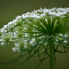 SBP 066<br /> <br /> Close up view of queen anne's lace.  Springbrook Prairie Nature Preserve, DuPage County, Illinois.