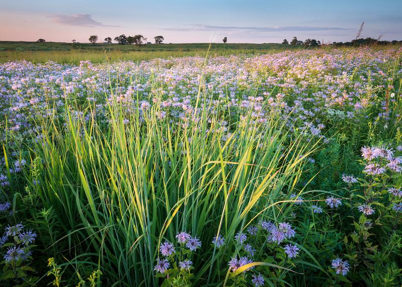 SBP 180<br /> <br /> Native bergamot wildflowers at sunset.  Springbrook Prairie Nature Preserve, DuPage County, Illinois.