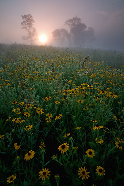 SBP 032<br /> <br /> sunrise obscured by heavy fog over a prairie of black-eyed susan native wildflowers.  Springbrook Prairie Nature Preserve, DuPage