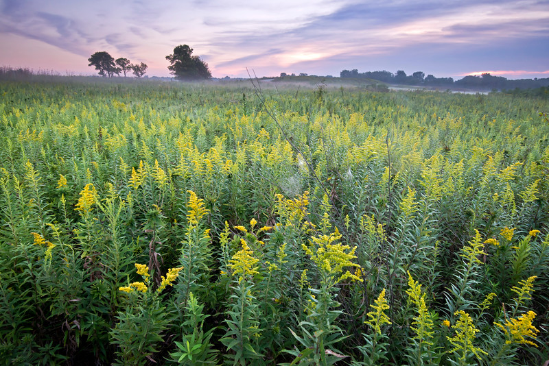 SBP 119<br /> <br /> Waves of goldenrod at sunrise.  Springbrook Prairie Nature Preserve, DuPage County, Illinois.