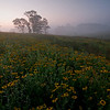 SBP 004<br /> <br /> A foggy dawn over a prairie of black-eyed susan wildflowers.  Springbrook Prairie Nature Preserve, DuPage County, Illinois.