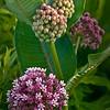 sBP 061<br /> <br /> Milkweed in bloom.  Springbrook Prairie Nature Preserve, DuPage County, Illinois.