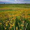 SBP 025<br /> <br /> A drift of black-eyed susan wildflowers at sunrise.  Springbrook Prairie Nature Preserve, DuPage County, Illinois.