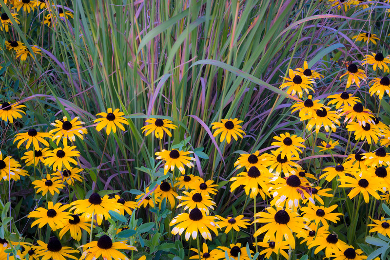 SBP 191<br /> <br /> A cluster of black-eyed susan wildflowers at Springbrook Prairie Nature Preserve, DuPage County, Illinois.