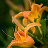 SBP 063<br /> <br /> Orange lilies blooming at Springbrook Prairie Nature Preserve, DuPage County, Illinois.