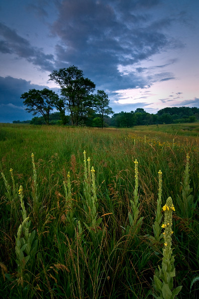 SBP 047<br /> <br /> Dusk over a prairie of native mullein wildflowers.  Springbrook Prairie Nature Preserve, DuPage County, Illinois.