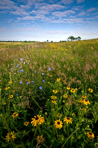 SBP 037<br /> <br /> Black-eyed susan native wildflowers at sunrise.  Springbrook Prairie Nature Preserve, DuPage County, Illinois.