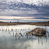SBP 081<br /> <br /> A lodge of cattails provides a home to a family of muskrats at Springbrook Prairie Nature Preserve, DuPage County, Illinois.
