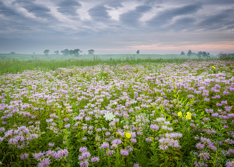 SBP 179<br /> <br /> Wave clouds over a prairie of bergamot native wildflowers.  Springbrook Prairie Nature Preserve, DuPage County, Illinois.