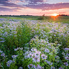 SBP 181<br /> <br /> Sunset over a prairie if native bergamot wildflowers at Springbrook Prairie Nature Preserve, DuPage County, Illinois.