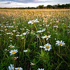 SBP 141<br /> <br /> Native wild daisies at sunset.  Springbrook Prairie Nature Preserve, DuPage County, Illinois.