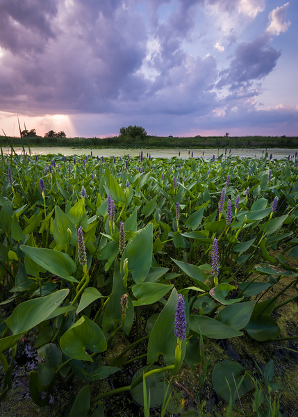 SPB 218<br /> <br /> Sunset light on pickerel weed in bloom as storm clouds drift across the prairie.  Springbrook Prairie Nature Preserve, DuPage County, Illinois.