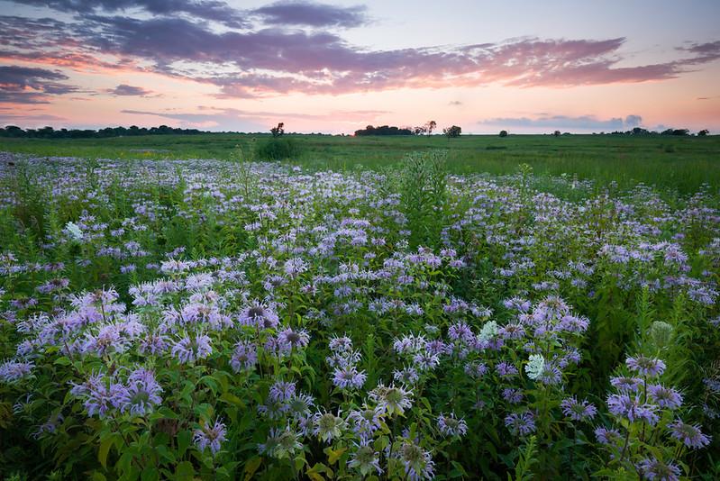 SBP 182<br /> <br /> Native bergamot wildflowrs under a twilight sky.  Springbrook Prairie Nature Preserve, DuPage County, Illinois.