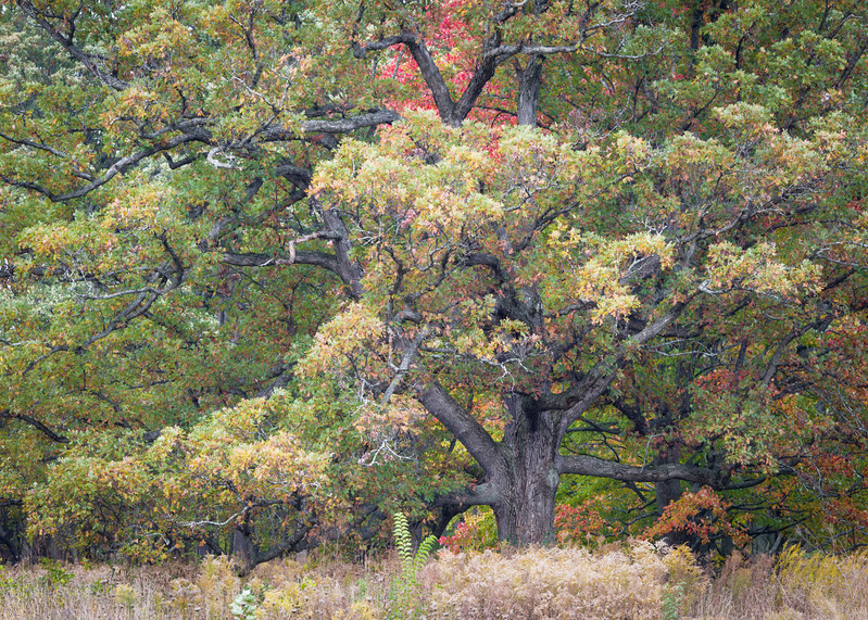 SJF 004<br /> <br /> A massive old oak in autumn colors.  St. James Farm Forest Preserve, DuPage County, Illinois.