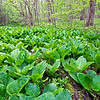 WrvGrv 005<br /> <br /> Skunk cabbage growing in a fen at Warrenville Grove Forest Preserve, DuPage County, Illinois.