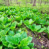 WrvGrv 004<br /> <br /> Skunk cabbage growing in a fen at Warrenville Grove Forest Preserve, DuPage County, Illinois.