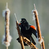 WFG 039<br /> <br /> A red wing blackbird sounds a spring mating call at 91st Street Marsh.  Waterfall Glen Forest Preserve, DuPage County, Illinois.