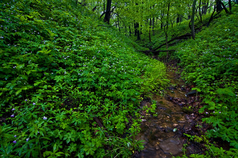 WFG 022<br /> <br /> Wild geraniums blanket a hillside at Waterfall Glen Forest Preserve, DuPage County, Illinois.