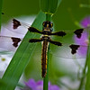 WFG 009<br /> <br /> A twelve-spotted skimmer dragonfly resting beside Sawmill Creek.  Waterfall Glen Forest Preserve, DuPage County, Illinois.